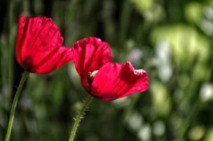 Good Morning Poppies by TAK-KAT