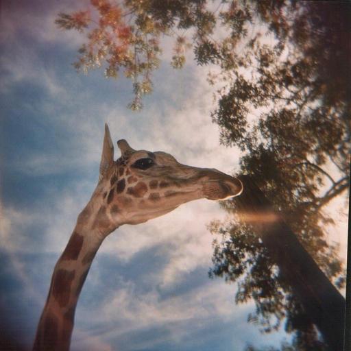 """Obrázek """"http://ic1.deviantart.com/fs5/i/2004/278/2/8/Giraffe_by_kyria_eos.jpg"""" nelze zobrazit, protože obsahuje chyby."""