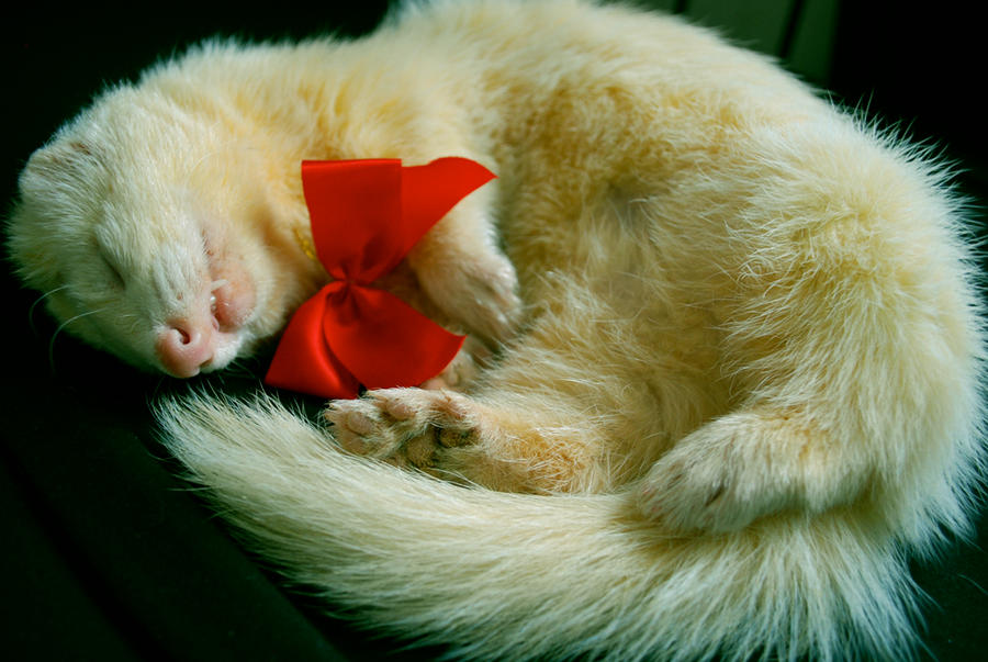 Christmas Ferret.Christmas Ferret By Amy Zarah On Deviantart