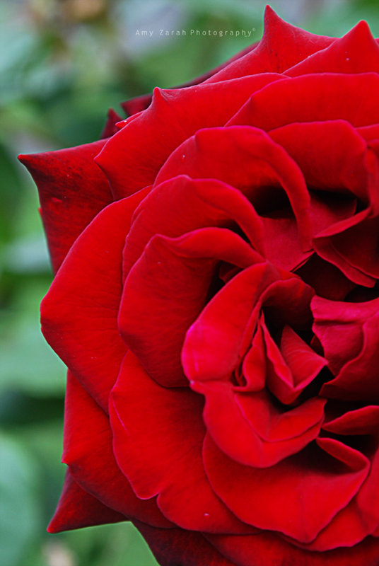 Rose. II by Amy-Zarah