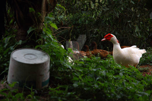 The White Muscovy Duck