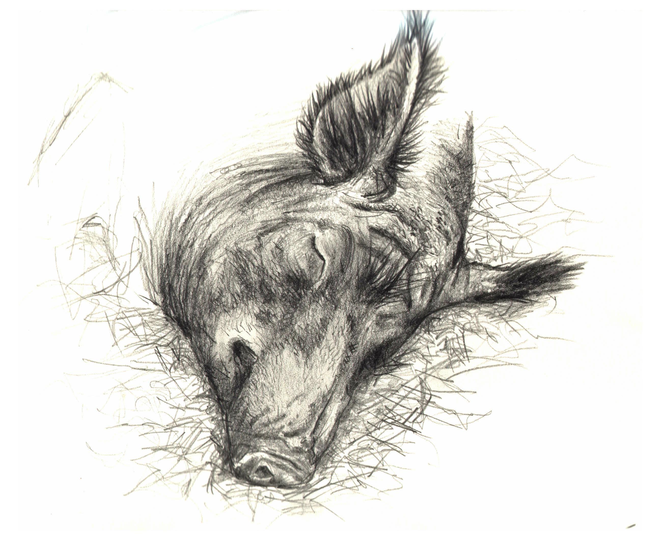 Wild Boar Sketch Wild boar by lindseydearnleyWild Boar Sketch