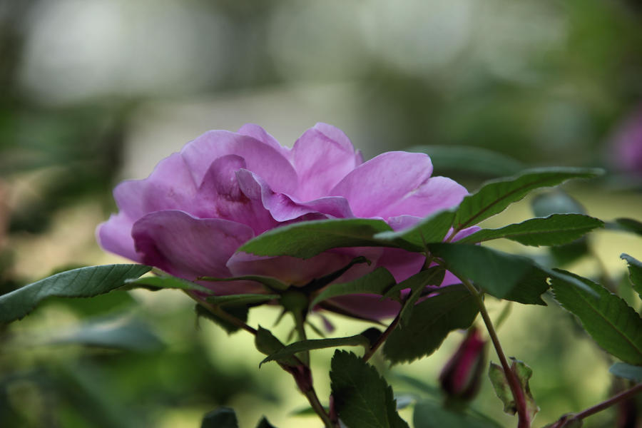 Bush Rose by digitalpix4all