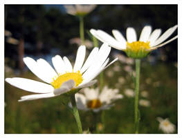 Daisy Daisy by MeXuT