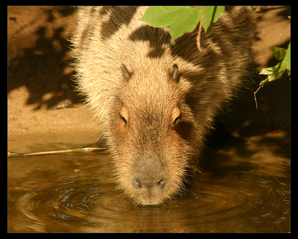http://th09.deviantart.net/fs6/PRE/i/2005/019/2/7/Capybara_by_TheDivineGoat.png