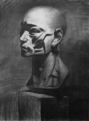 Anatomy - Sketch