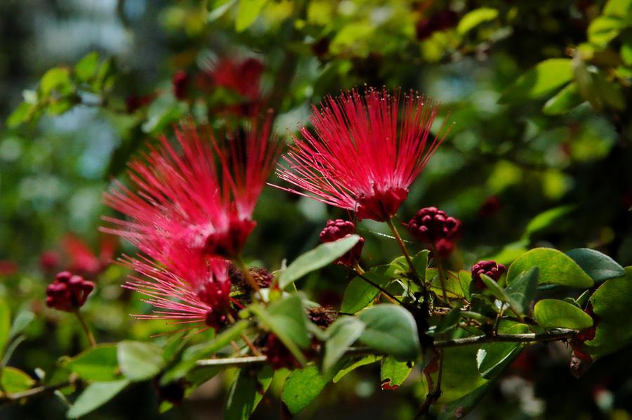 Persian silk tree flowers by erinm2000 on deviantart persian silk tree flowers by erinm2000 mightylinksfo