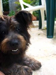 Mi dog that looks like a bear by altaiz