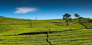 Tea Plantations II by eyesweb1
