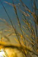 Golden ears by eyesweb1