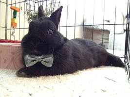 Mr. Bunny Wearing a Bow Tie by chublybumkin
