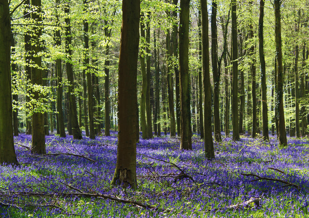 Spring Time Woods by C-Donald-Amos-F