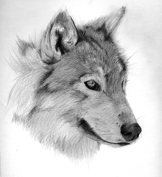 wolf face by shinku-dA Pencil Drawings Of Wolves Faces