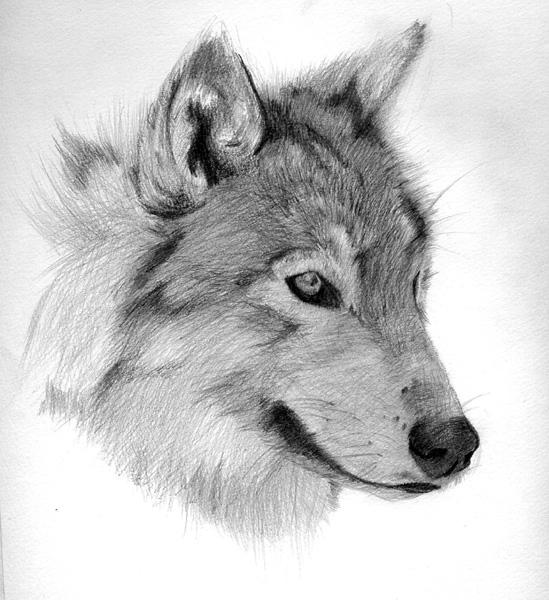 Wolf Face By Shinku dA On DeviantArt