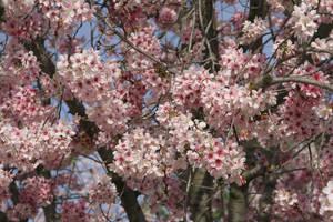 Cherry Blossom by Sirevil