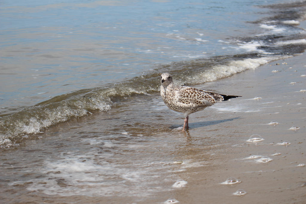 Young Gull by MillyT