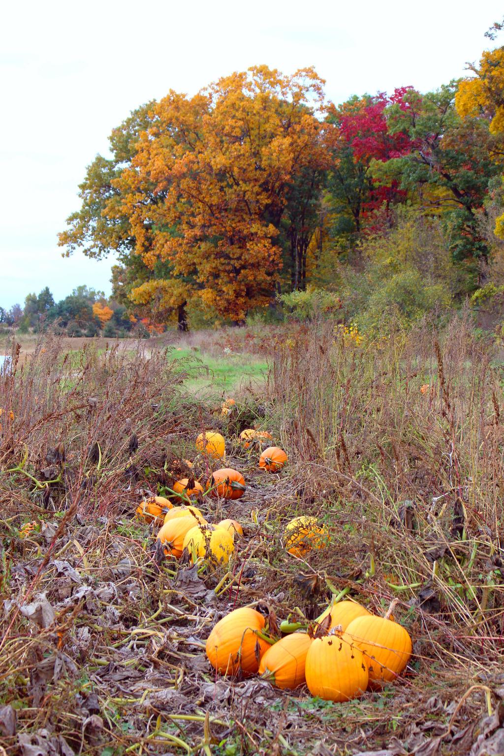 Pumpkin Patch by MillyT