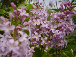 Lilacs by MillyT