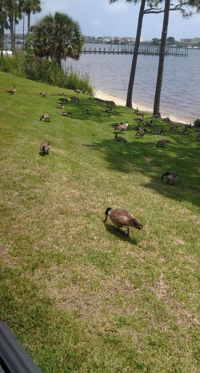 Canadian Geese by Jwgirl