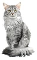 maine coon cate by MINECR-AFT