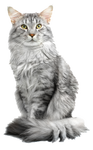 maine coon cate