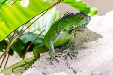 Iguana by TheMetronomad