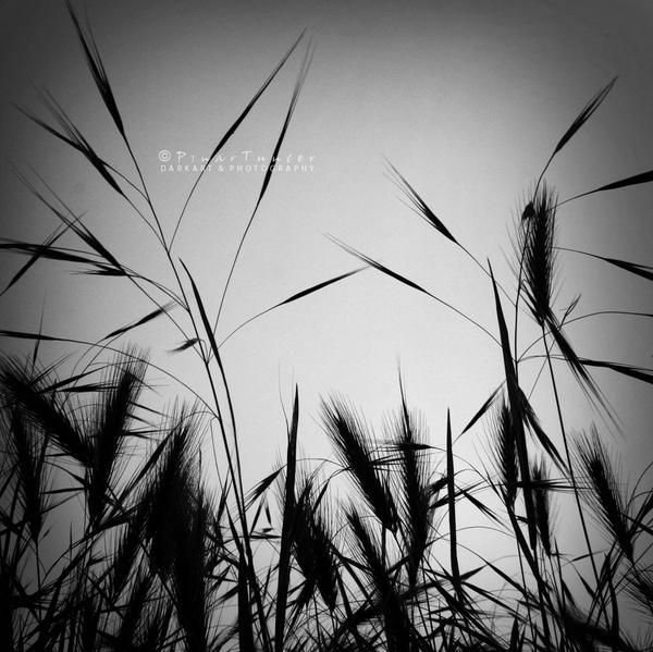 cornfield by tuncerpinar