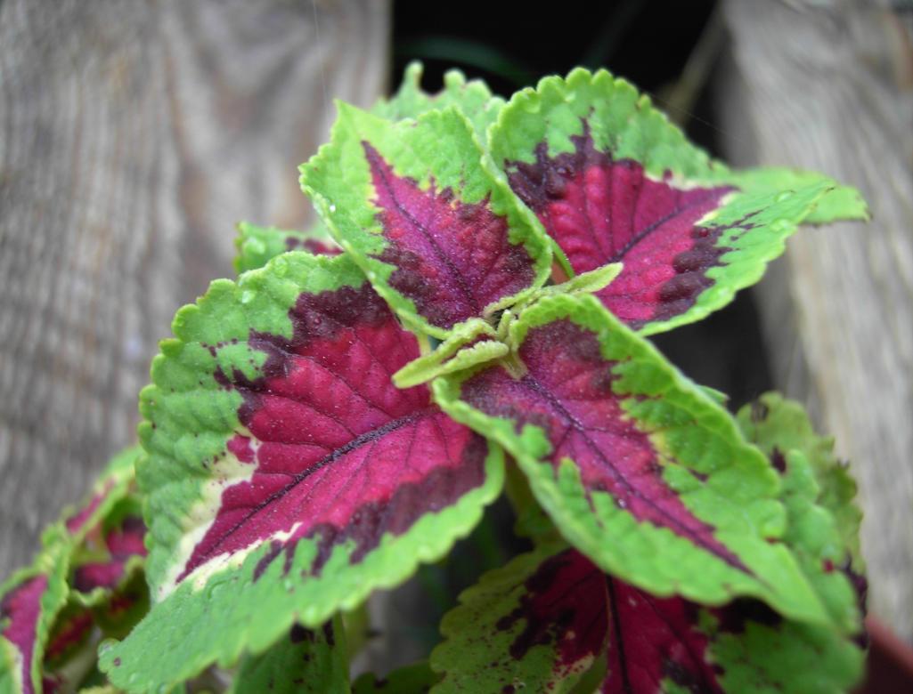 red  green leaf by fjear on deviantart, Natural flower
