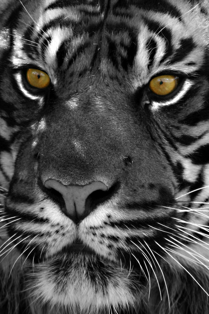 black tigers animal - photo #20