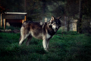 WOLF by BlackIce-Wolf