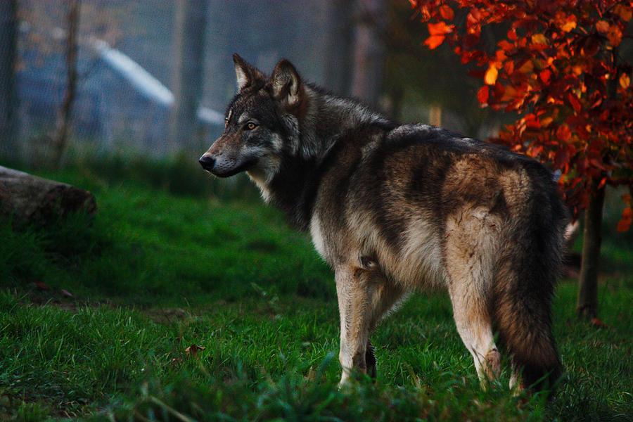 山をはいかいする狼