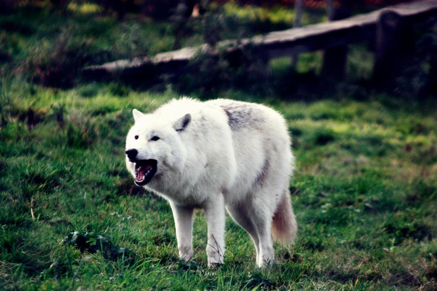 Arf by BlackIce-Wolf