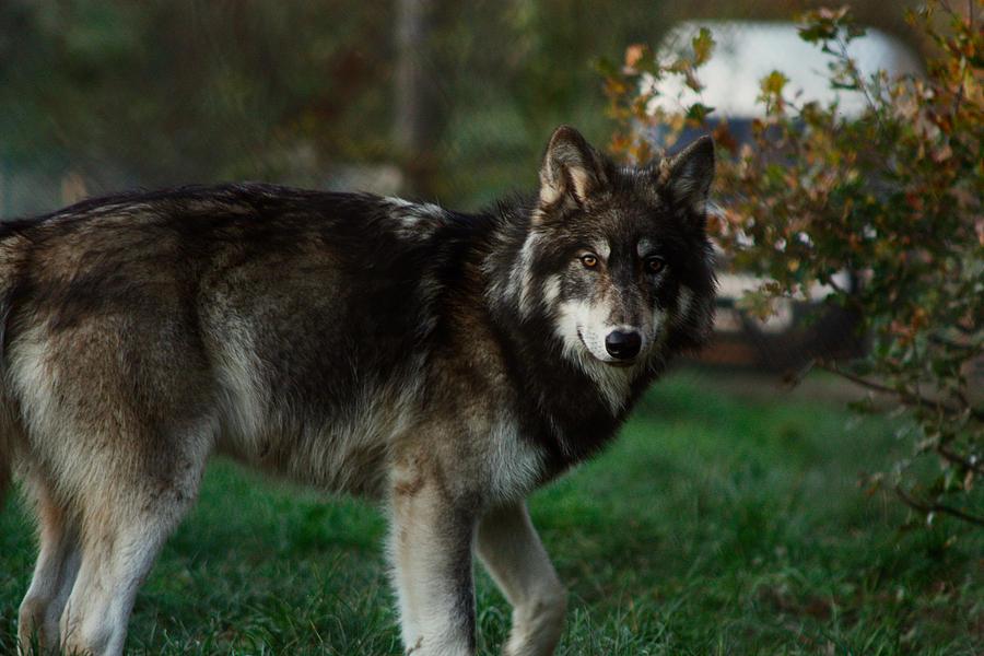 Northwestern wolf 2 by...