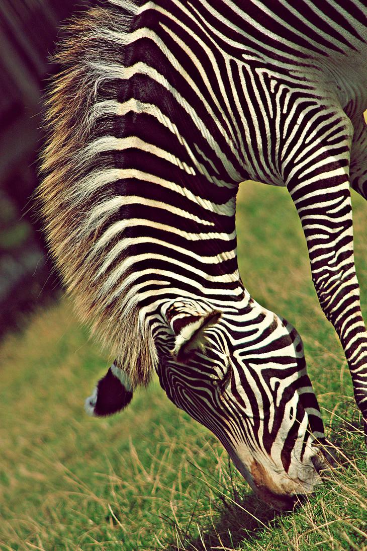 Zebra by BlackIce-Wolf