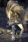 Free Photo Wolf 3