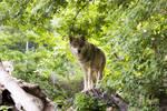 Free Photo Wolf 5