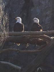 Bald Eagle 5 by CaptainEdwardTeague