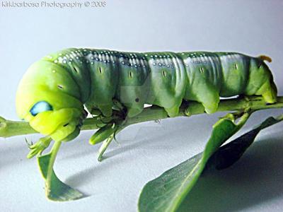 Caterpillar by kirkbarbosa
