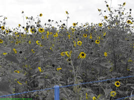Sunflowers by poestokergorey