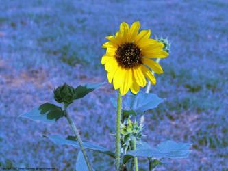 Bluegrass Sunflower by poestokergorey