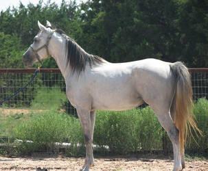 Horse - Arabian - Gwaihir by poestokergorey