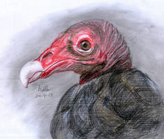Turkey vulture by matsmoebius
