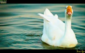 Goose :) by Janjua
