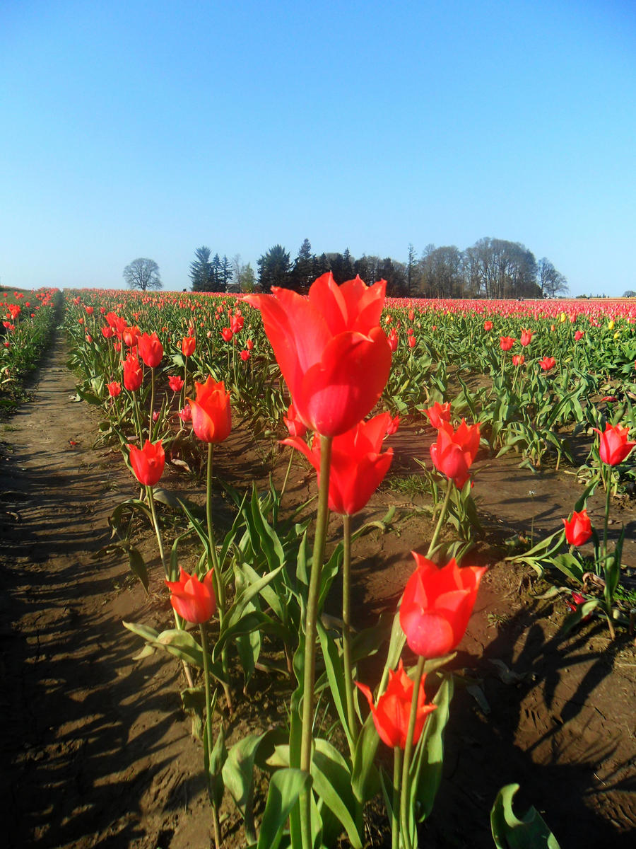 tulip fest by jaquenettalove