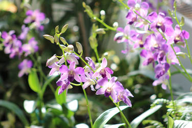 Orchid 16
