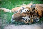 Squint Tiger
