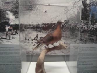 Passenger Pigeon by alex5657123