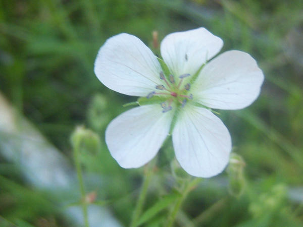 White mountain flower by seriousrocker on deviantart white mountain flower by seriousrocker mightylinksfo