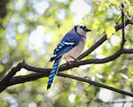 Blue Jay by SheilaMB-Photography