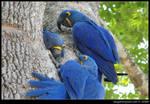 Hyacinth Macaw...
